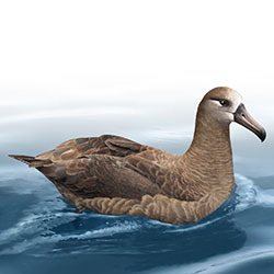 Black-footed Albatross Body Illustration.jpg