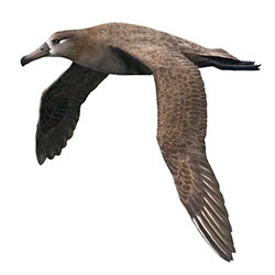 Black-footed Albatross Flight Illustration.jpg