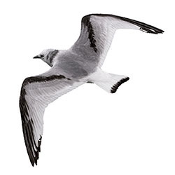 Black-legged Kittiwake Flight Illustration.jpg