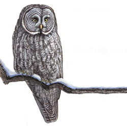 Great Gray Owl Body Illustration