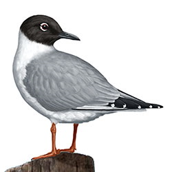 Bonaparte's Gull Body Illustration.jpg
