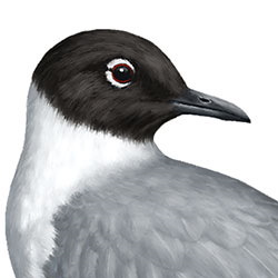 Bonaparte's Gull Head Illustration.jpg