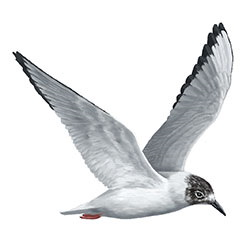 Bonaparte's Gull Flight Illustration.jpg