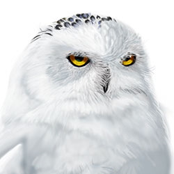 Snowy Owl Head Illustration