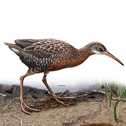 Clapper Rail Body Illustration.jpg