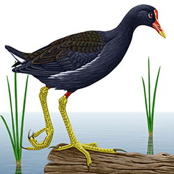 Common Moorhen Body Illustration