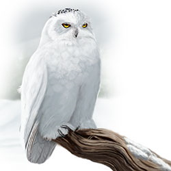 Snowy Owl Body Illustration