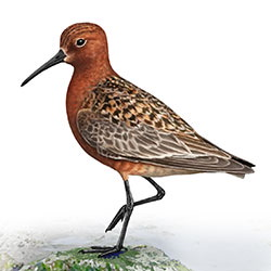Curlew Sandpiper Body Illustration