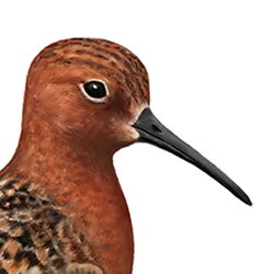 Curlew Sandpiper Head Illustration