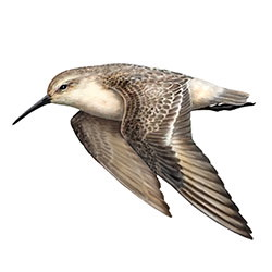 Curlew Sandpiper Flight Illustration
