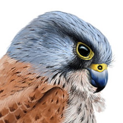 Eurasian Kestrel Head Illustration