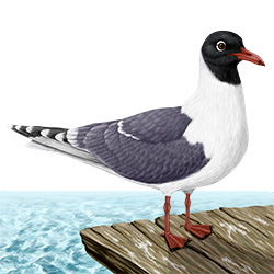 Franklin's Gull Body Illustration