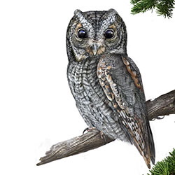 Flammulated Owl Body Illustration
