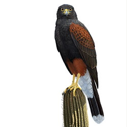 Harris Hawk Body Illustration