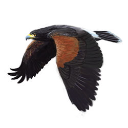 Harris Hawk Flight Illustration