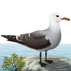 Heermann's Gull Body Illustration