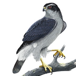 Northern Goshawk Body Illustration