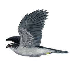 Northern Goshawk Flight Illustration