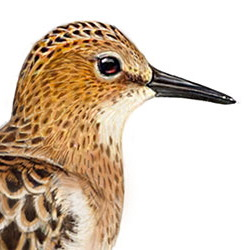 Little Stint Head Illustration