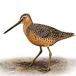 Long-billed Dowitcher Body Illustration.jpg