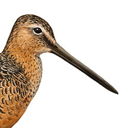 Long-billed Dowitcher Head Illustration.jpg