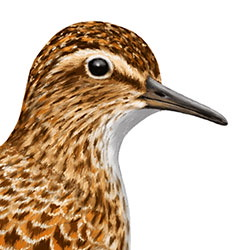 Long-toed Stint Head Illustration
