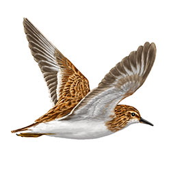 Long-toed Stint Flight Illustration