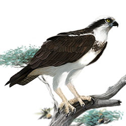 Osprey Body Illustration