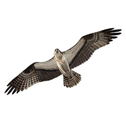 Osprey Flight Illustration