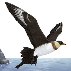 Pomarine Jaeger Dark Flight Illustration