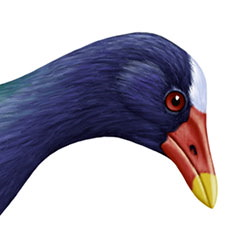Purple Gallinule Head Illustration