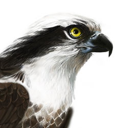 Osprey Head Illustration