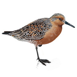 Red Knot Body Illustration