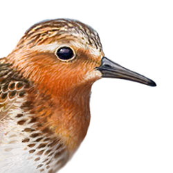 Red-necked Stint Head Illustration