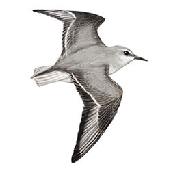 Red-necked Stint Flight Illustration