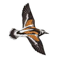 Ruddy Turnstone Flight Illustration
