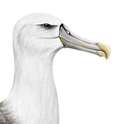 White-capped Albatross Head Illustration