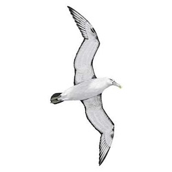 White-capped Albatross Flight Illustration