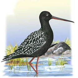 Spotted Redshank Body Illustration