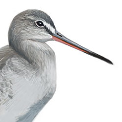 Spotted Redshank Head Illustration