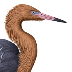 Reddish Egret Head Illustration