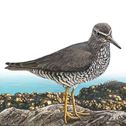 Wandering Tattler Body Illustration
