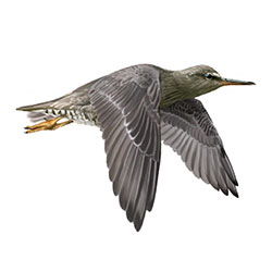 Wandering Tattler Flight Illustration