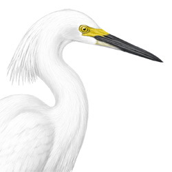 Snowy Egret Head Illustration