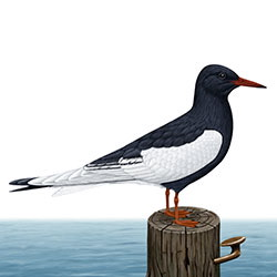 White-winged Tern Breeding Adult Body Illustration