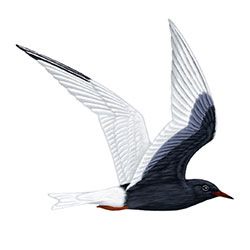 White-winged Tern Flight Illustration