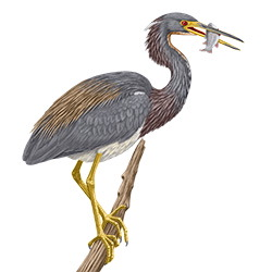 Tricolored Heron Body Illustration
