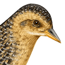Yellow Rail Head Illustration