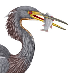 Tricolored Heron Head Illustration