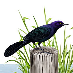 Boat-tailed Grackle Breeding Male Body Illustration